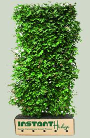 Acer Ginnala Flame Amur Maple Hedge