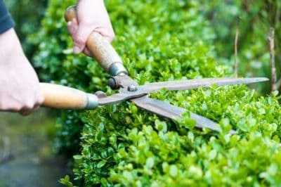 buxus boxwood maintenance pruning shearing
