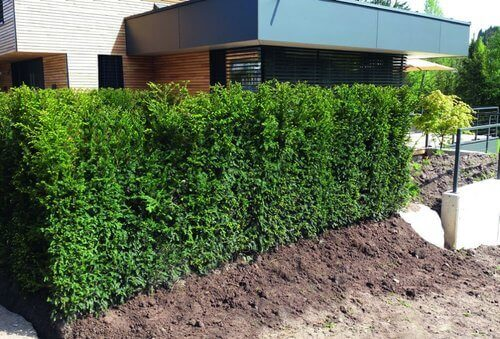 Hicks yew shrub in backyard