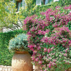 N0300163_140-Carpinus-hornbeam-hedge-courtyard-driveway-residential-parking-area-cottage-b&b