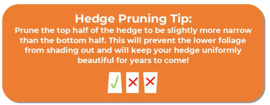 A guide to How to Prune Privacy Hedges. Best Bushes for privacy. Privacy shrubs pruning tip.