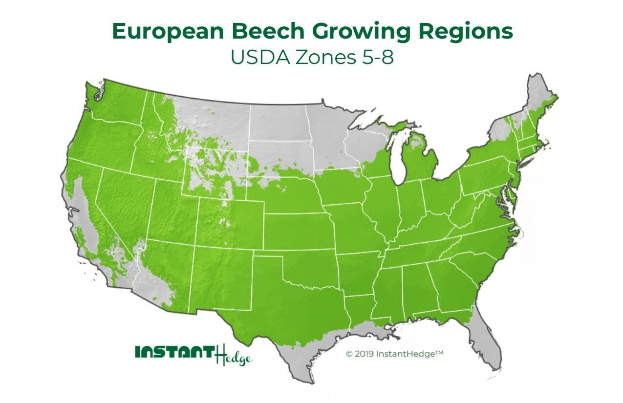 Fagus Sylvatica growing region: European Beech grows in USDA Zone 5-8