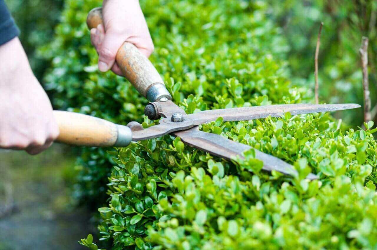 Green Mountain Boxwood Care