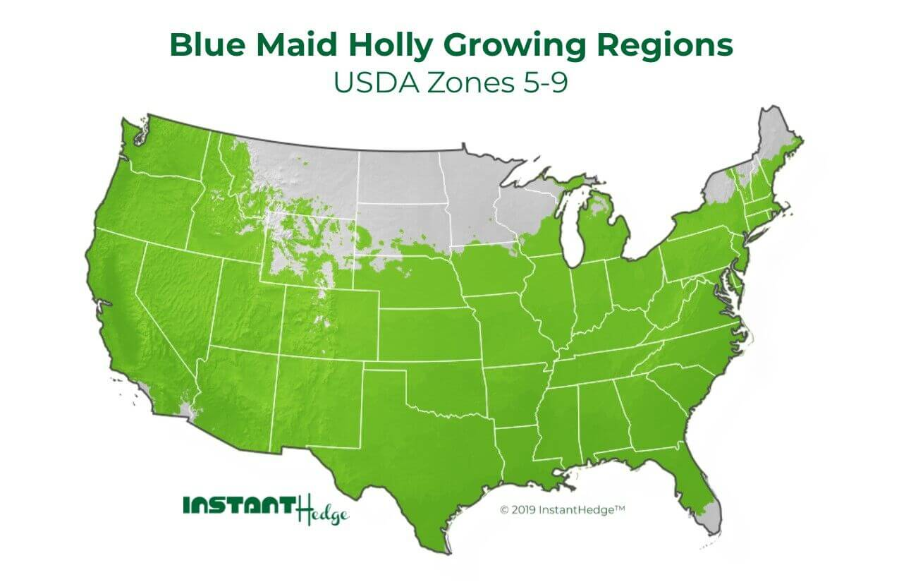 blue maid holly growing regions