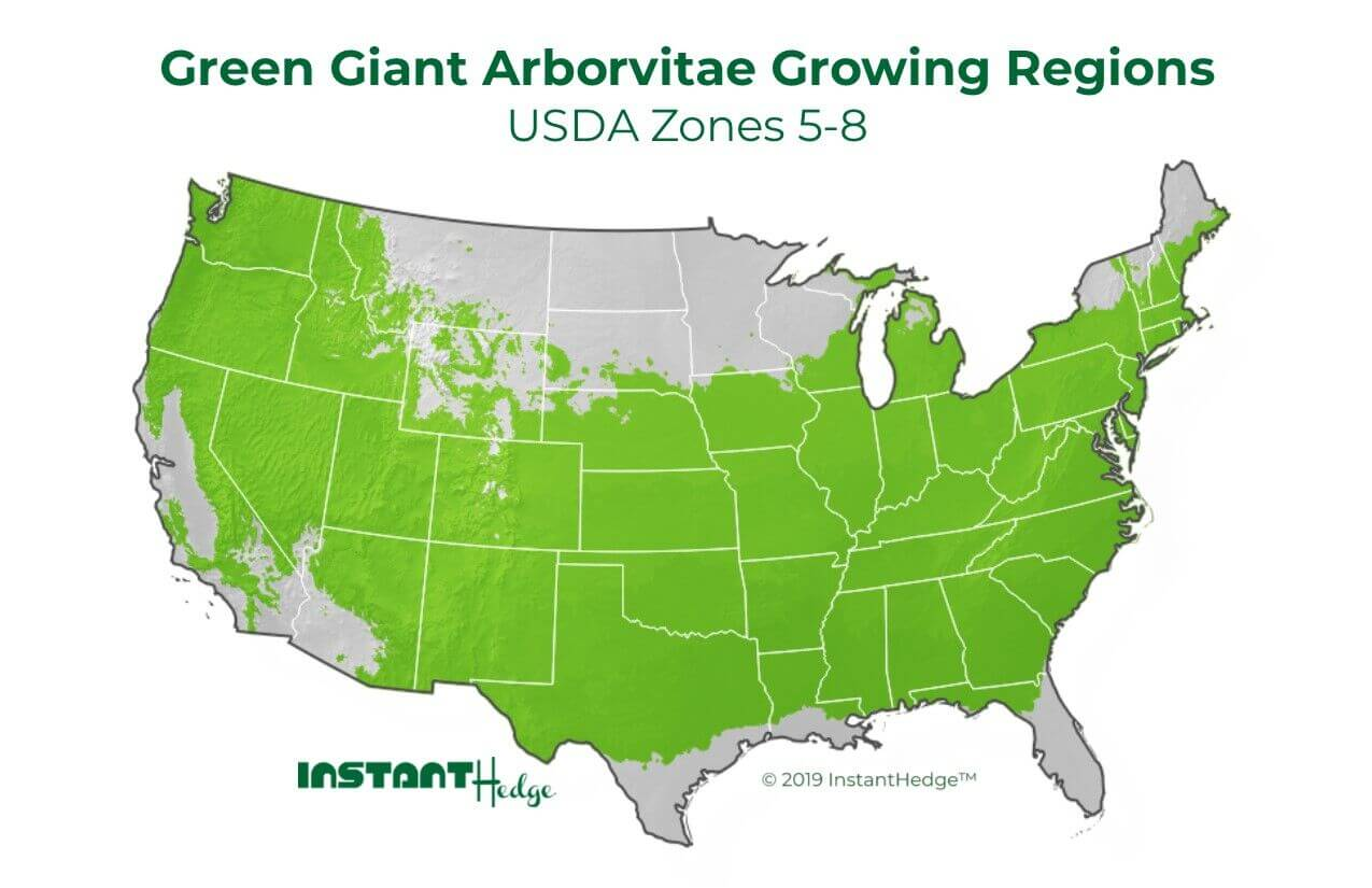 green giant arborvitae growing conditions