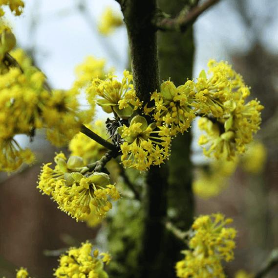 00000079-Cornus-mas-cornelian-cherry-spring-bloom-yellow-flower-closeup