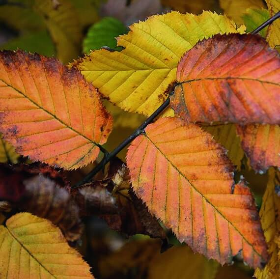 00000087-Carpinus-betulus-hornbeam-fall-color-display-yellow-orange-brown-foliage-leaves-closeup