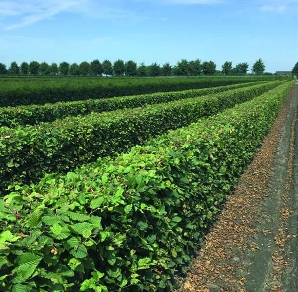 00000088-Carpinus-betulus-hornbeam-summer-4-feet-tall-InstantHedge-field-nursery-rows