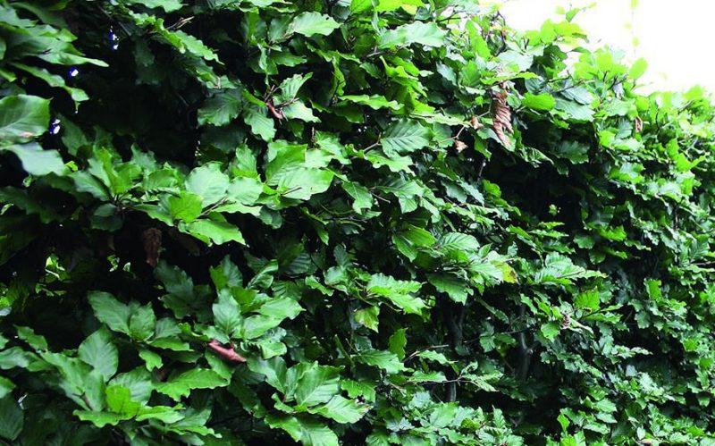 Fagus Sylvatica Summer Foliage. European Beech hedge looks stunning in summer with green foliage