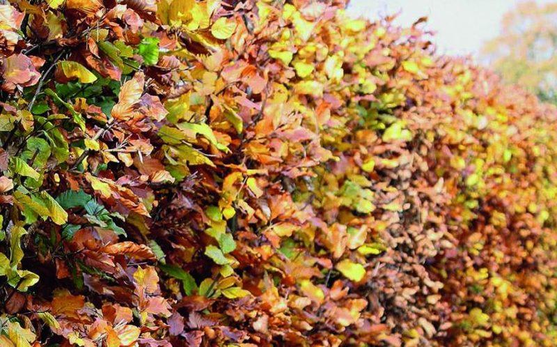 European Beech Tree in Fall: Fagus Sylvatica Copper Beech color during fall