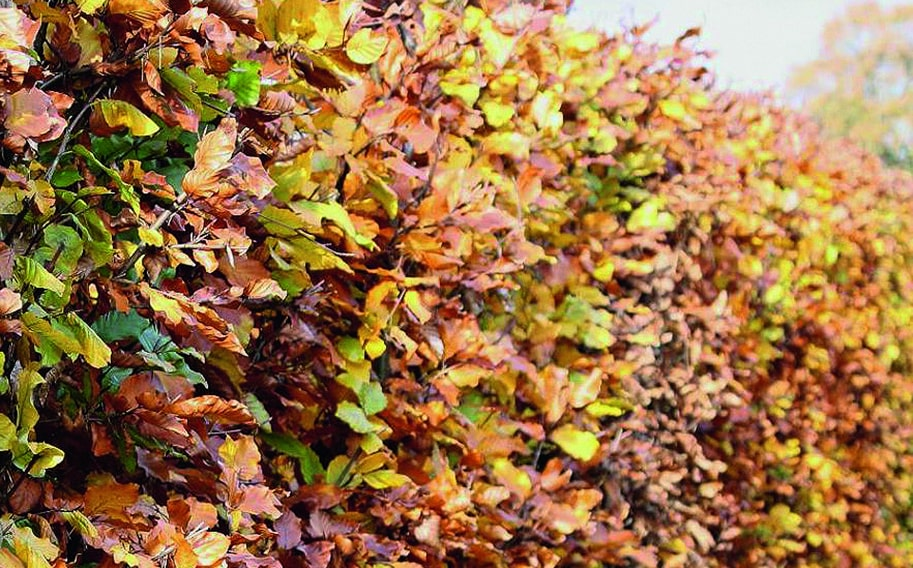 00000105-Fagus-sylvatica-beech-fall-foliage-leaves-color-yellow-bronze-orange-green-purple