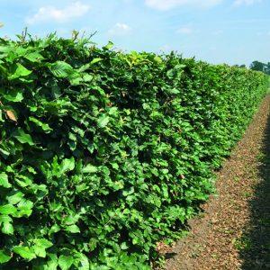 00000110-Fagus-sylvatica-beech-5-feet-summer-InstantHedge-field-nursery-row-ready-harvest