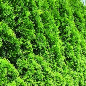 00000216-Thuja-occidentalis-smaragd-Emerald-Green-row