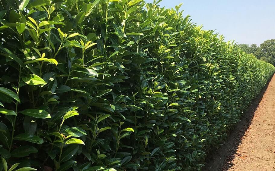 00000281-Prunus-laurocerasus-English-cherry-laurel-hedge-field-row-nursery-privacy-InstantHedge-summer