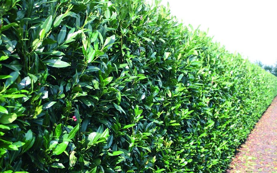 00000288-Prunus-laurocerasus-schipkaensis-schip-laurel