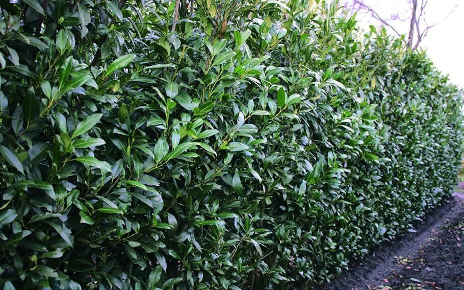00000289-Prunus-laurocerasus-schipkaensis-schip-laurel-hedge-row-winter