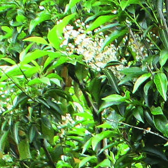 00000303-Prunus-lusitanica-portuguese-laurel-flower-bloom-spring