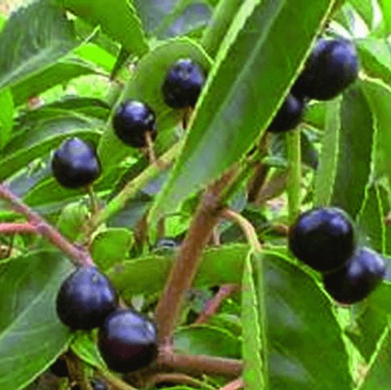 00000304-Prunus-lusitanica-portuguese-laurel-fruit-color-summer