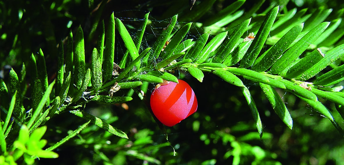 00000319-Taxus-yew-Fruit-aril