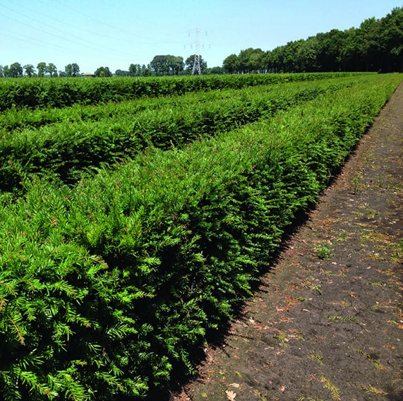 00000325-Taxus-hedge-4ft