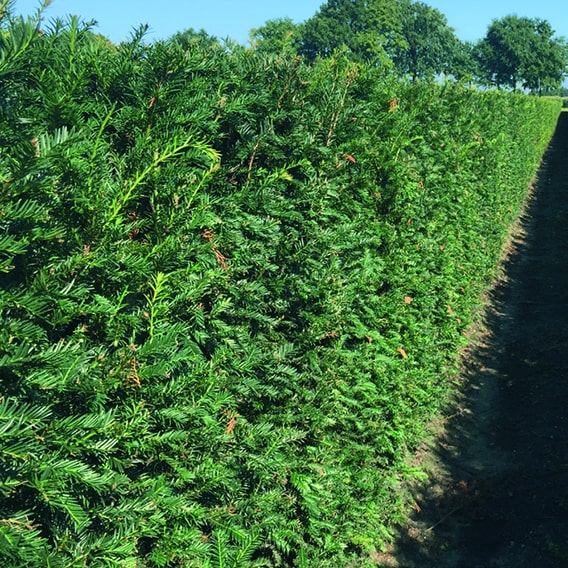 00000327-taxus-5ft-InstantHedge