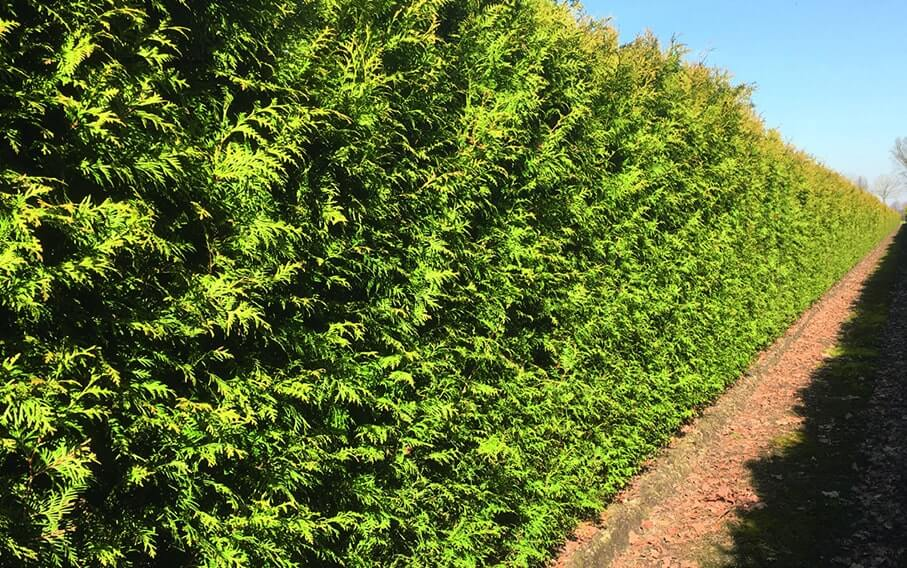 0465-Thuja-occidentalis-hedge-propagation-young-plants-ready-planting