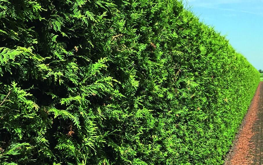 00000336-Thuja-Summer-Green-Giant-arborvitae-min