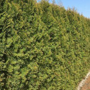 00000342-Thuja-occidentalis-Smaragd-Winter-Emerald-Green