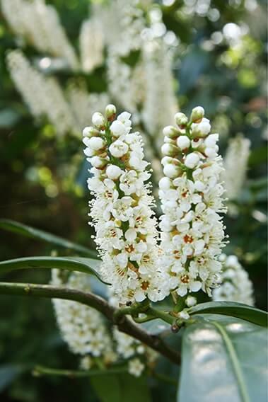 6762-Prunus-laurocerasus-Schipkaensis-schip-laurel-field-hedge-row