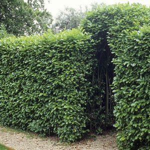 00690651-Prunus-laurocerasus-wall-fence-estate-home