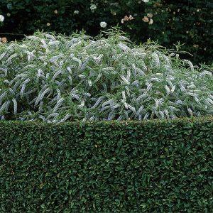 00861019-Prunus-lusitanica-portuguese-laurel-hedge-wall