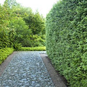 Green Giant Arborvitae Thuja X