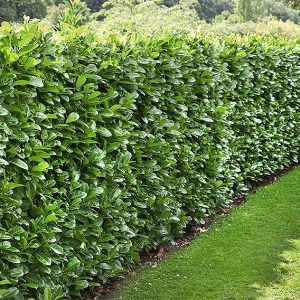 00933077-Prunus-laurocerasus-estate-wall