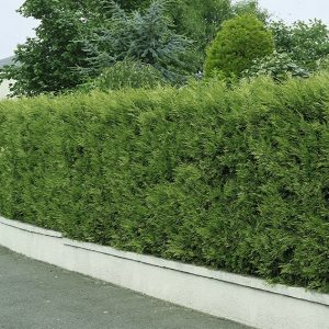 00933193-Thuja-occidentalis-wall-driveway