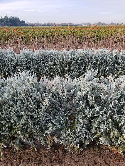 01-juniperus-scopulorum-wichita-blue-rocky-mountain-juniper-hedge-field-row-nursery-InstantHedge-evergreen