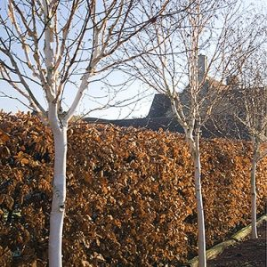 01058555-Fagus-beech-hedge-estate-home-driveway-commercial-fall-winter-leaves