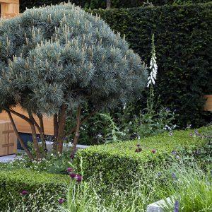 01401044-Buxus-taxus-garden-formal-urban-suburban-modern