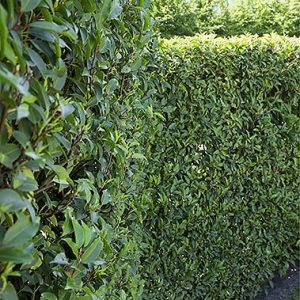 01402453-Prunus-lusitanica-fence-hedge-estate-commercial
