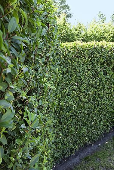N0300319_140-Prunus-lusitanica-portuguese-laurel-hedge-privacy-tall-evergreen