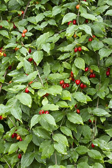 01416413-Cornus-mas-detail-fruit-cornelian-cherry-hedge