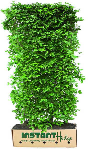 01416415-Cornus-mas-cornelian-cherry-InstantHedge-unit-ready-ship-biodegradable-cardboard