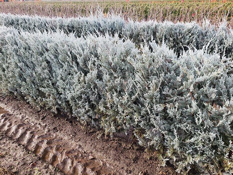 02-juniperus-scopulorum-wichita-blue-rocky-mountain-juniper-hedge-field-row-nursery-InstantHedge-evergreen