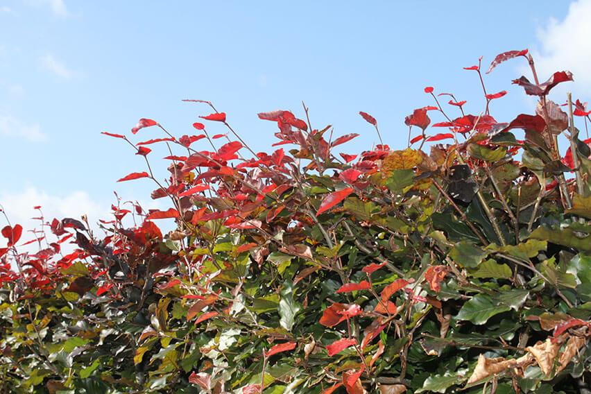 0431-Fagus-sylvatica-Atropurpurea-purple-copper-beech-red-new-growth