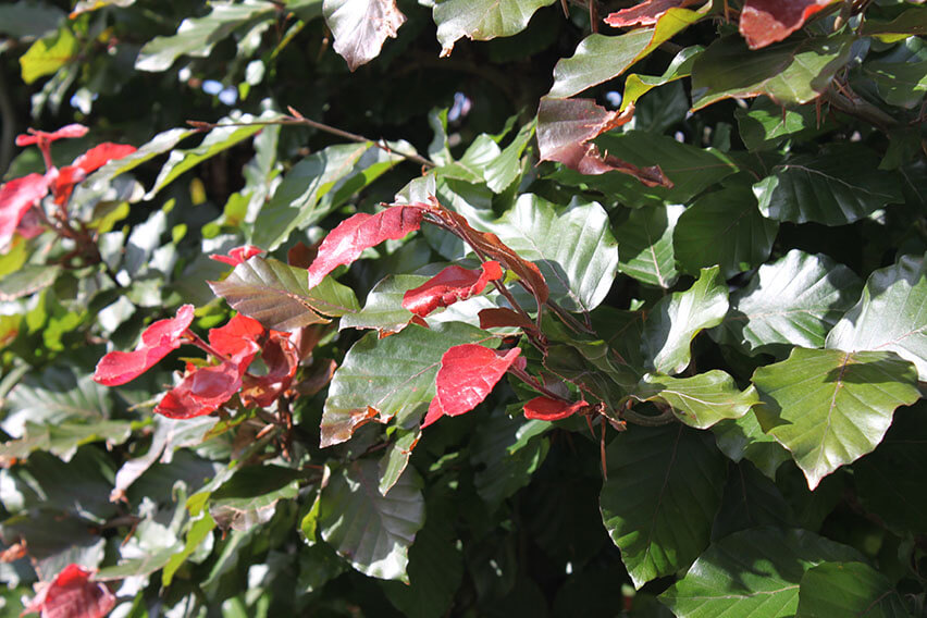 0432-Fagus-sylvatica-Atropurpurea-purple-copper-beech-hedge-red-new-growth
