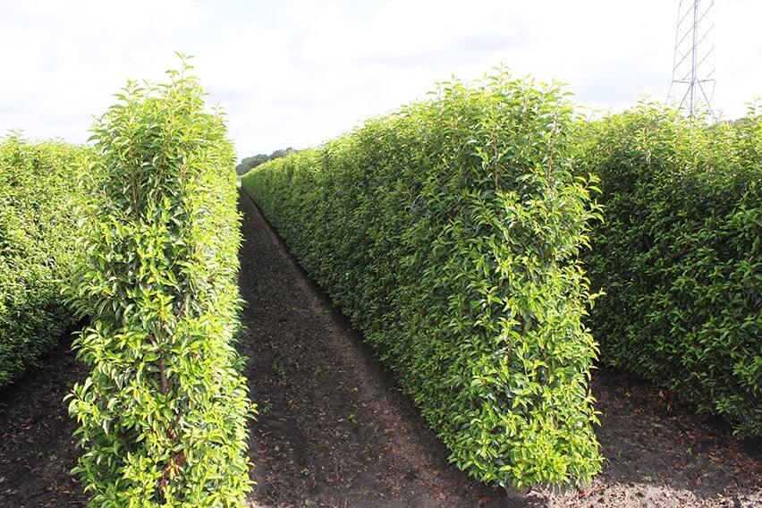 Portuguese Cherry Laurel Prunus Lusitanica Hedges For Sale