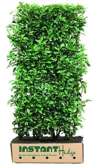 0455-Prunus-lusitanica-Portuguese-laurel-InstantHedge-unit-biodegradable-cardboard-ready-to-ship
