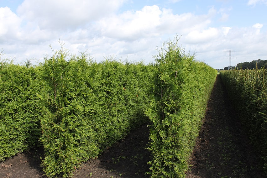 0459-Thuja-Green-giant-InstantHedge-rows-planted-in-field-min