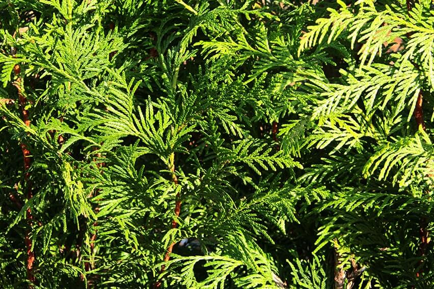 0462-Thuja-occidentalis-foliage-texture-arborvitae