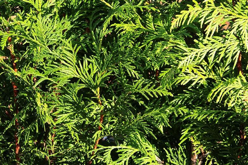 0460-Thuja-Green-Giant-foliage-close-up-detail-texture-min