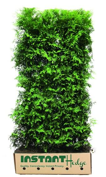 0463-Thuja-occidentalis-InstantHedge-unit-cardboard-box-easy-to-plant-ready-to-ship